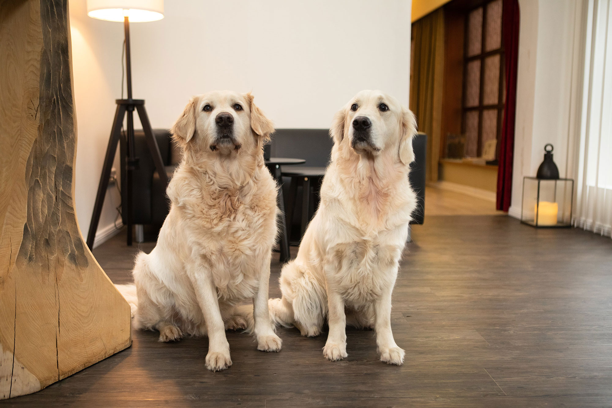 Golden Retriever Kalla und Frieda